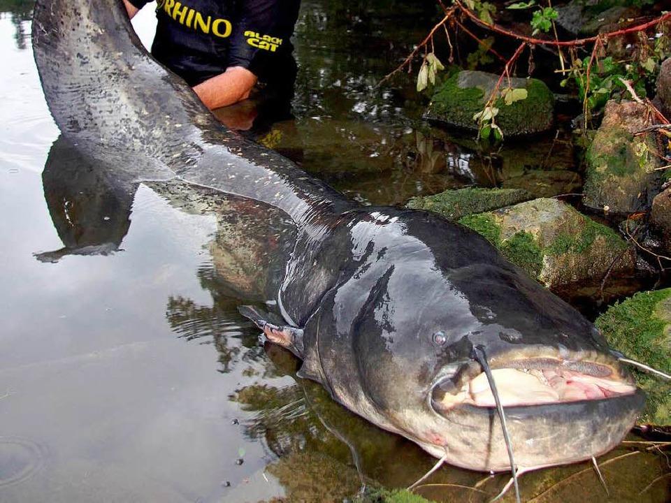 Der Profi-Angler Peter Merkel mit seinem außergewöhnlich großen Neckarwels.  | Foto: dpa