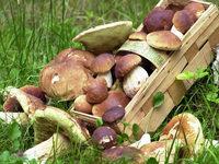 2012 könnte ein richtig gutes Pilzjahr werden