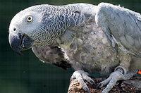 Papagei kl�ger als Hund