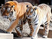 Schock in K�lner Zoo - Tiger t�tet Pflegerin