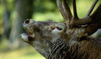 Rothirschtage : Ganz im Zeichen des Wildtieres