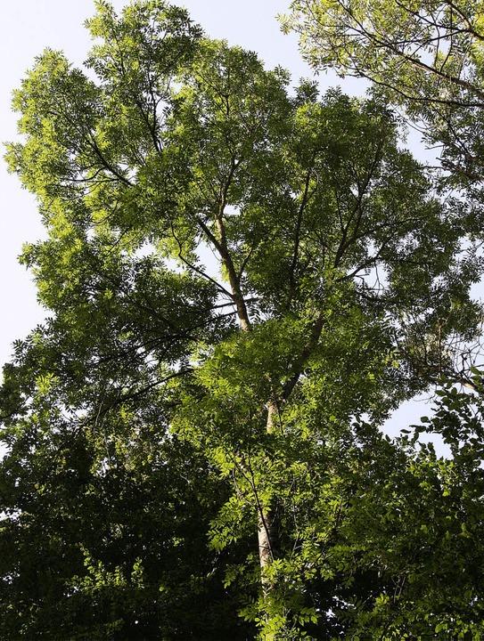 Die Krone einer etwa 80 Jahre alten Es...uptbaumart im Merdinger Schachenwald.   | Foto: silvia faller