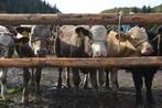 Brave Stiere heiß begehrt