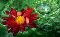 Gesucht: die sch�nsten Fotos von der Chrysanthema in Lahr