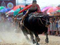 Fotos: Wasserb�ffelrennen in Thailand