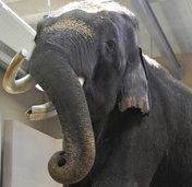 TIERISCH: Elefant in S�dkorea kann sprechen