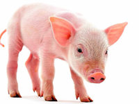 Tierschutzlabel – mehr Transparenz f�r Fleischesser?