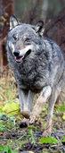 Wölfin Susi trickst die Jäger aus