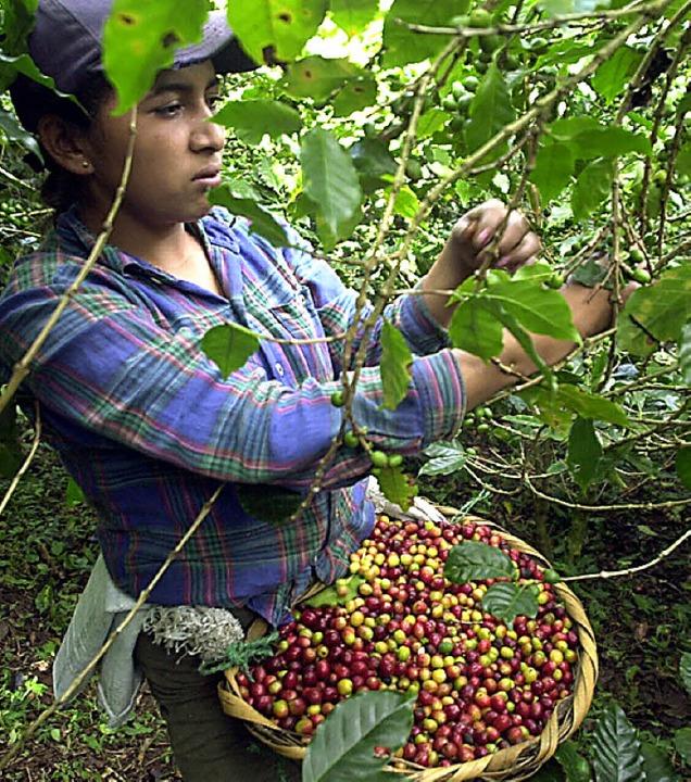 Wird der Kaffee im regenreichen Hochland angebaut, <ppp></ppp>  | Foto: MARIO LOPEZ