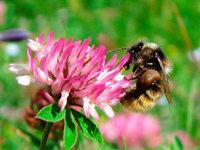 Wildinsekten bestäuben besser