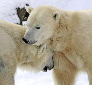 Artenschutzkonferenz: Friede, Freude, Bärenschinken
