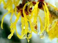 Entzündungshemmer aus der Natur: Hamamelis