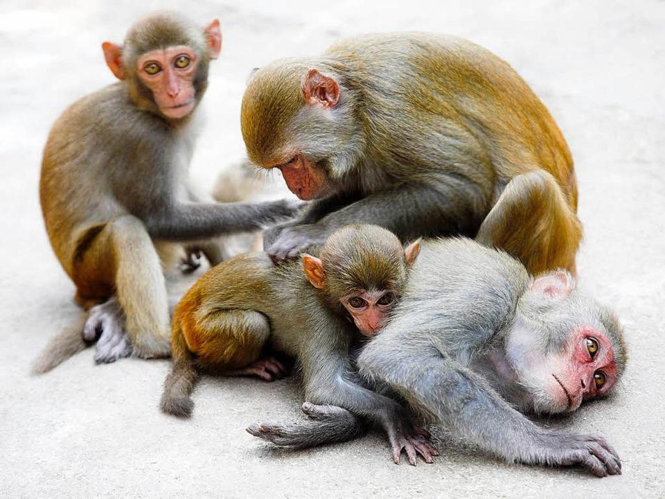 Privileg nur für die ranghöchsten Affen: der persönliche Putzpage   | Foto: Vasiliy Koval (fotolia.com)