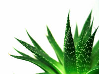 Echte Aloe: Entzndungshemmer und Schnheitselixier