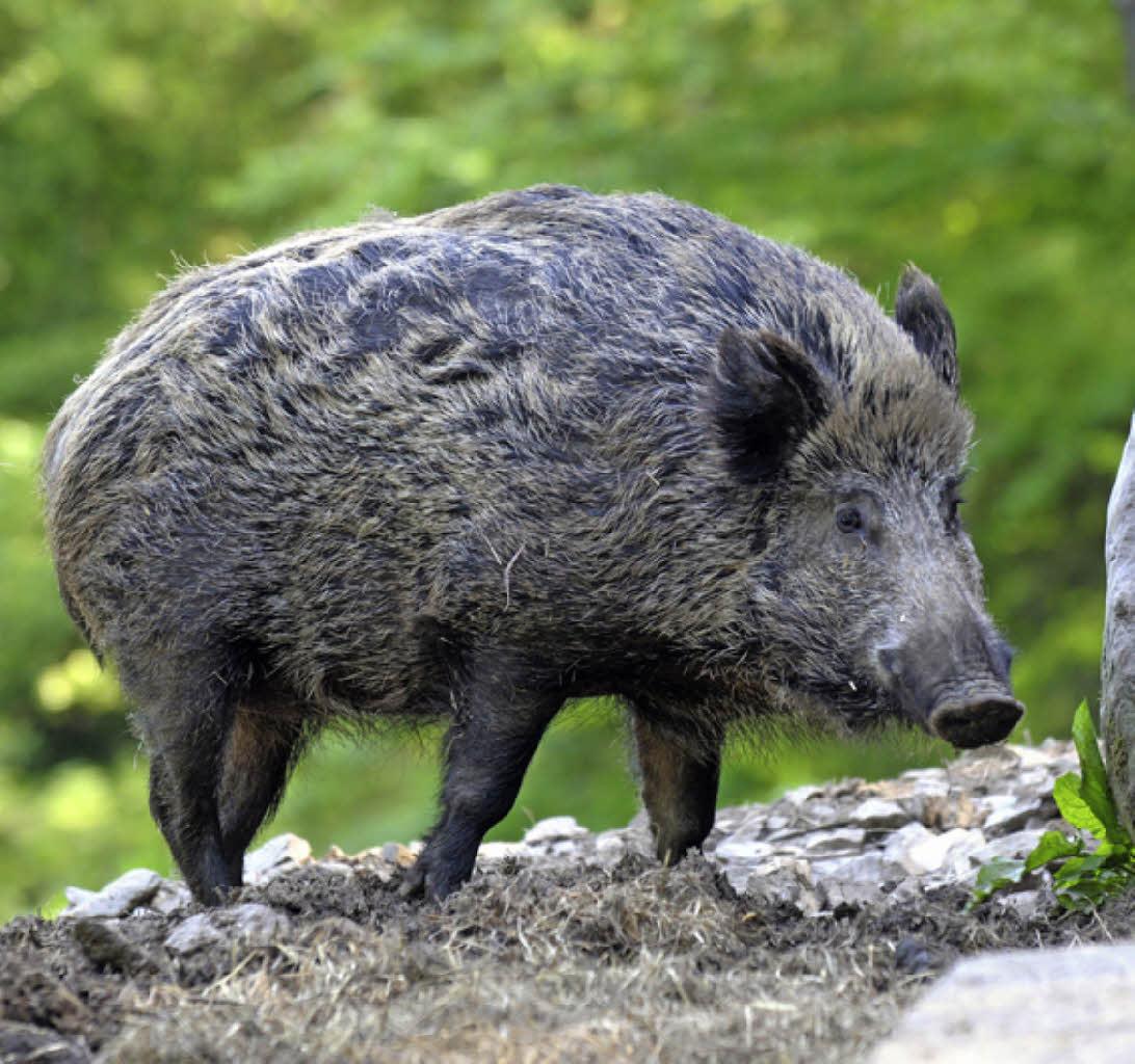 30 wildschweine erlegt steinen badische zeitung. Black Bedroom Furniture Sets. Home Design Ideas