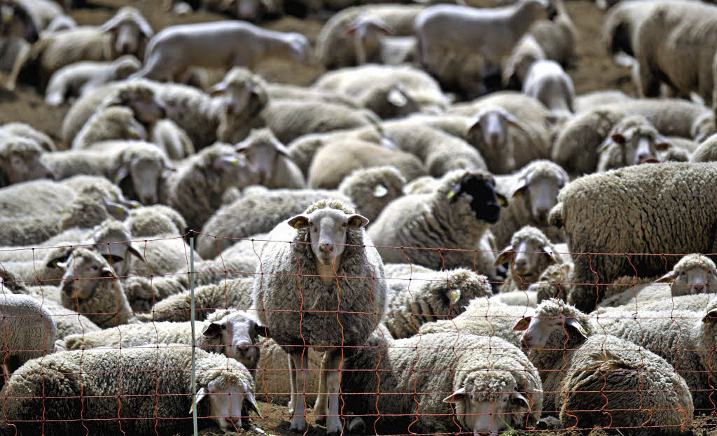 Bad Krozingen: Herde nimmt Hirten in die Pflicht - badische-zeitung.de   {Herde 4}
