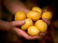 Experten: Aktuelle Preise keine Folge des Kartoffelkartells