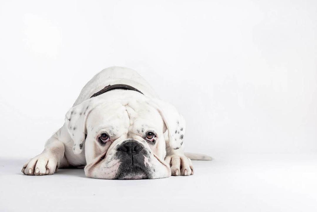 Weißer Hund auf weißem Grund: Amor war...ers erstes Fotomodell auf vier Pfoten.  | Foto: Christian Hanner (3)