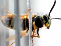 Wespenattacke bei Nacht - 30 Kinder verletzt