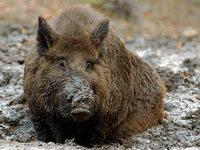 Wildschweine haben im Elsass so viel Weidefläche wie nie zuvor zerstört