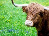 Die schottischen Hochlandrinder von Biederbach