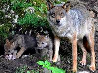 Wolfswelpen im Elsass entdeckt