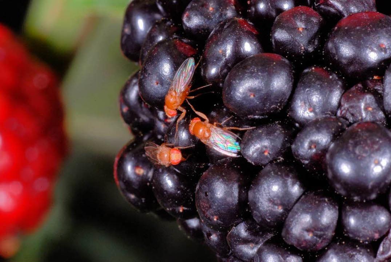 Legt ihre Eier am liebsten in rote Früchte: die Kirschessigfliege.  | Foto: Staatliches Weinbauinstitut