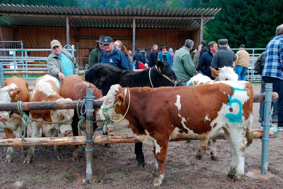 Kühe, Kälber und Experten. (Foto: Edgar Steinfelder)