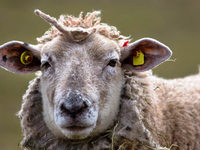 EU-Urteil: Schafe müssen Elektrochips tragen