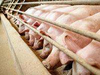 Deutsche Landwirte verfüttern 1619 Tonnen Antibiotika