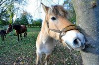 Ortenauer Polizei nimmt mutma�lichen Pferdesch�nder fest