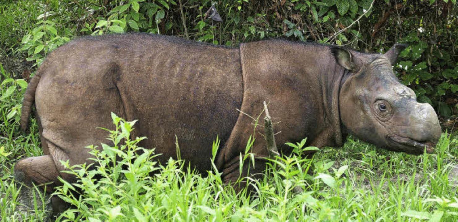 Tam, eines der letzten Sumatra-Nashörn...servat im Nordosten der Insel Borneo.   | Foto: robert risch