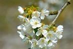 Fotos: Die Kirschbl�te im Eggenertal