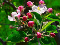Die Apfelbäume blühen in Südbaden so früh wie nie