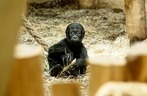 Fotos: Das Gorillababy Tambo