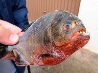Angler in den Vogesen von Piranha gebissen