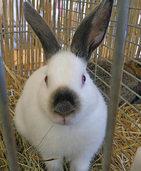 Kaninchen fachm�nnisch begutachtet