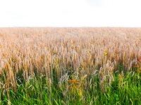 Wetter macht Ernte im Hotzenwald zurzeit unm�glich