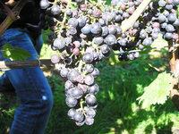Erste Trauben befallen: Kirschessigfliege bedroht Weinernte in Südbaden