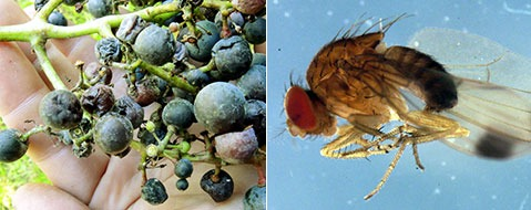 Trauben befallen: Kirschessigfliege bedroht Weinernte