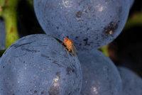 Winzer: Erste Erfolge im Kampf gegen die Kirschessigfliege