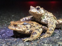 Kr�tentunnel retten das Leben von Amphibien