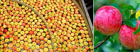 Einfuhrverbot:Obstbauern bleiben �pfeln sitzen