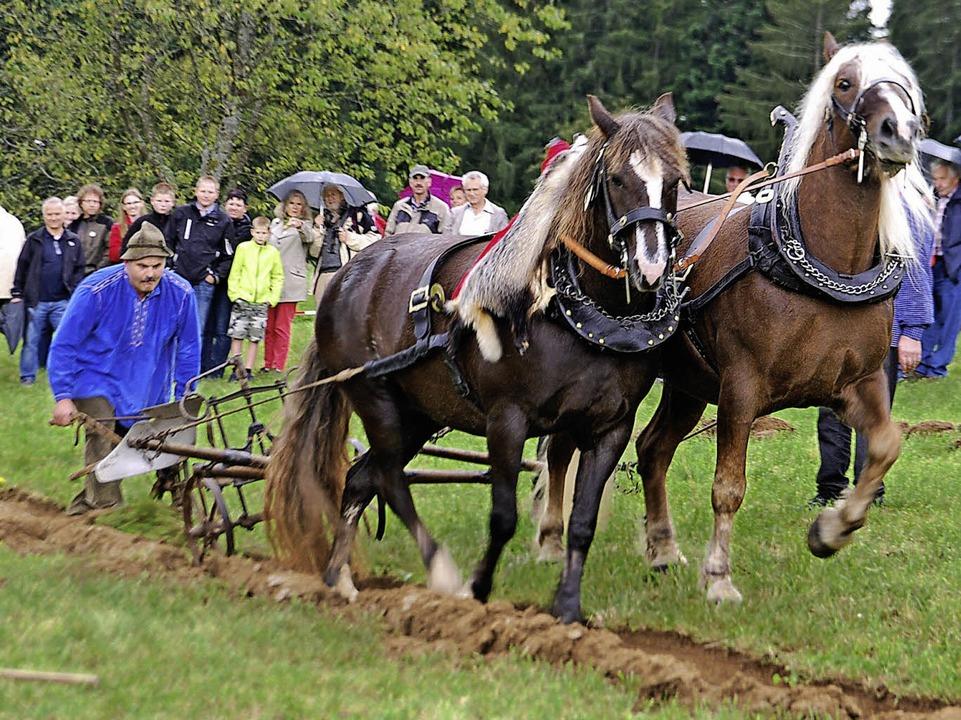 Ein Bild für Romantiker: Pferde ziehen den Pflug.  | Foto: Edgar Steinfelder