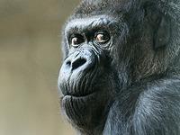 Ber�hmte Gorilla-Dame im Zolli wird 55 Jahre alt