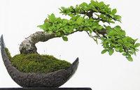 Blumenschau Foli Flore widmet sich Bonsaibäumen