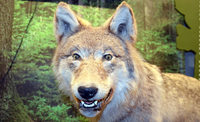Mensch und Wolf – geht das?