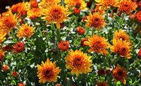 Chrysanthema in Lahr: Wer Liebe sät