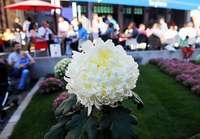 Fotos: Chrysanthema 2014 in Lahr am Sonntag