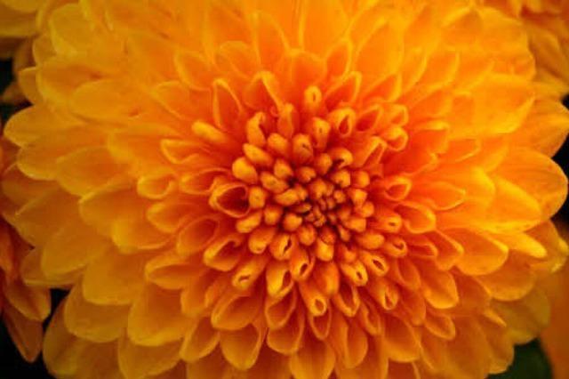 CHRYSAN-THEMA: Symbol des Miteinanders